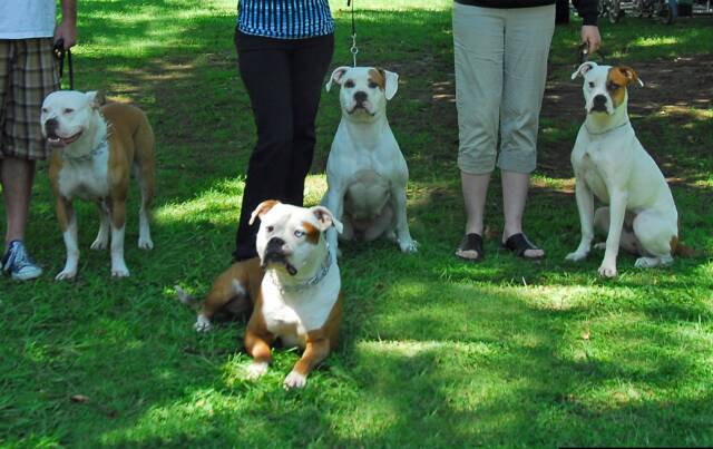American Bulldog Norcal's Malo with three of his duaghters from seperate breedings
